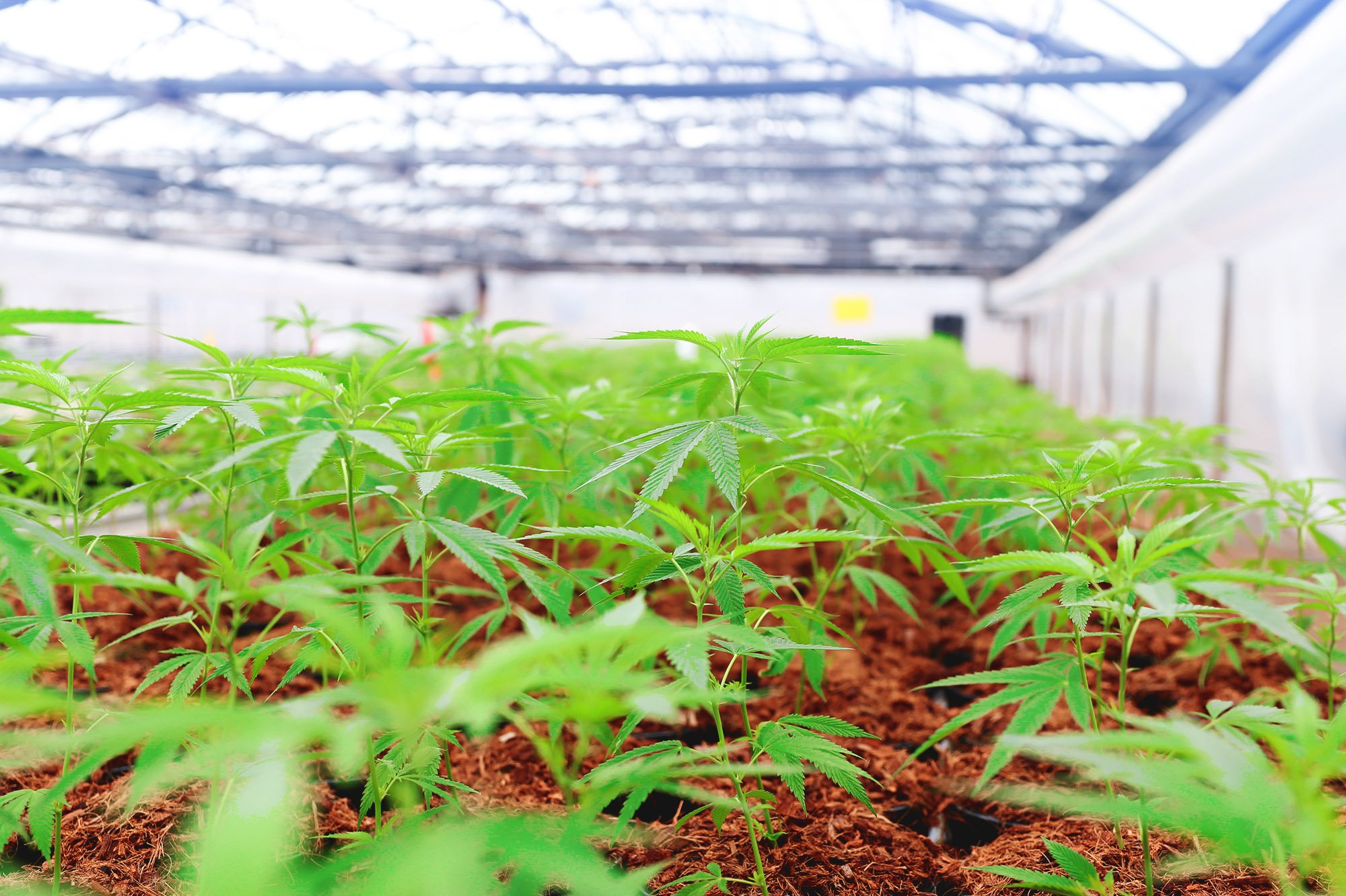 Greenbrier Holdings cannabis plants in a greenhouse